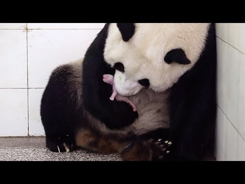 Birth Of Baby Panda - Panda Babies - BBC Earth