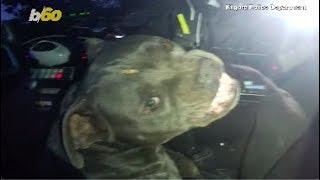 Dog Gone! Pitbull Runs Amok, Hijacks Cop Car & Steals Beef Jerky!