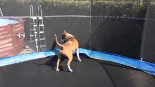 English Bull Terrier Funny Jump