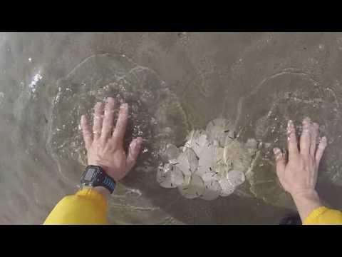 5 Steps To Finding Sand Dollars