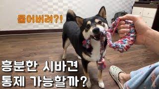 흥분한 강아지 통제 가능할까? / 시바견쯔카유 / 시바…