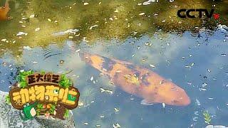 [正大综艺·动物来啦]锦鲤的寿命很长 可以超过七十年| CCTV