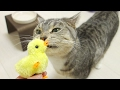 cute cat playing with toy chick / 【猫 かわいい】ヒヨコのおもちゃで遊ぶ猫