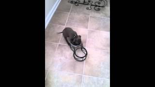 Smart 9wks Ukc Blue Nose Pit Bull Terrier