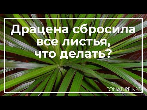 Если драцена сбросила все листья, что делать? | toNature.Info