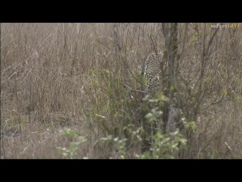 safariLIVE - Sunset Safari - Nov. 12, 2017 Part 1