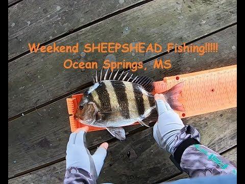 Catching Sheepshead In Ocean Springs.  Sheepshead Pier Fishing Using Fiddler Crabs