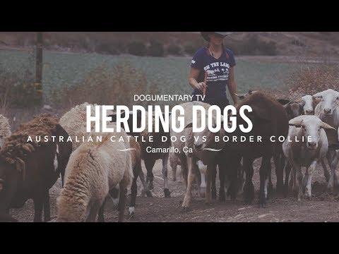 HERDING DOGS: BORDER COLLIE VS. AUSTRALIAN CATTLE DOG