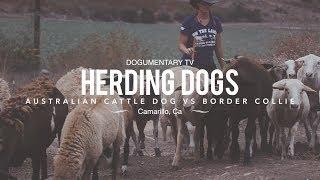 Perros de Pastoreo: Border Collie vs. Perro Ganadero Australiano