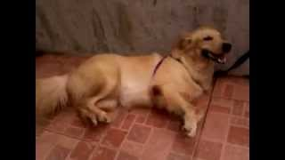Poor Golden Retriever Having A Seizure