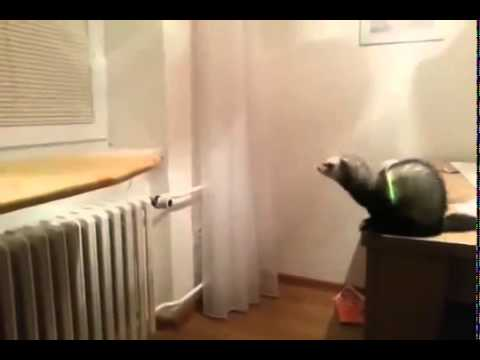 Ferret makes an amazing leap