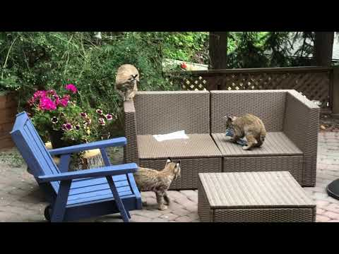 Bobcat kittens playing in Calgary backyard