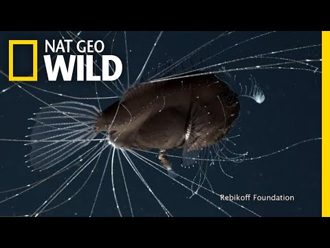 First-Ever Footage Of Deep-Sea Anglerfish Mating Pair | Nat Geo Wild