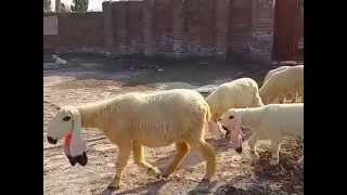 Kajla sheep farm sargodha