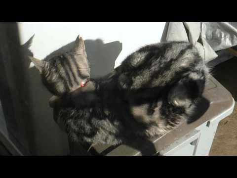 猫 アメリカンショートヘアの後姿 American shorthair cat
