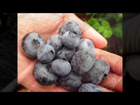 Голубика .10 способов размножения. Способ №2  выращивание  голубики  из семян.