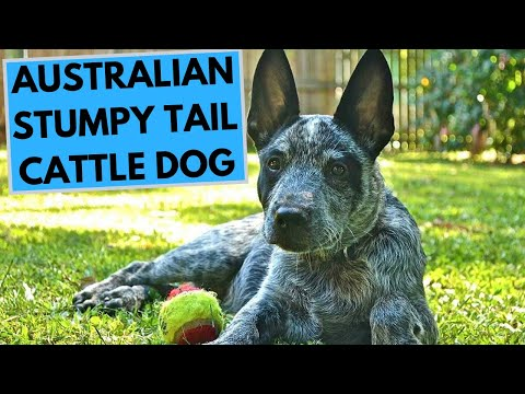 Australian Stumpy Tail Cattle Dog Breed  Facts and Information