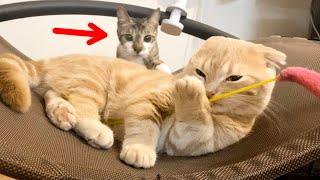 赤ちゃんのように遊ぶ短足猫を羨ましそうに見る妹猫w