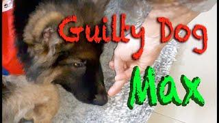 German Shepherd puppy Max: Guilty Dog face reaction