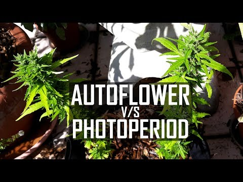 Seeds, Soil & Sun: How to Grow Cannabis (#4 Autoflower vs. Photo-period Strains / Repotting Plants)