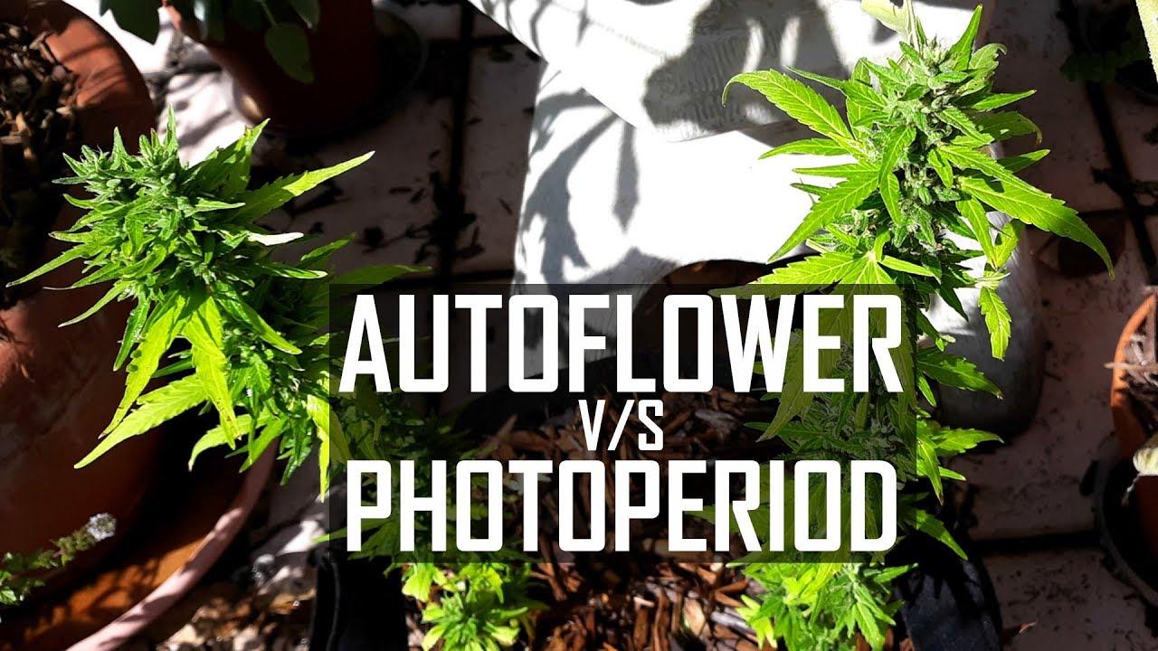 Seeds, Soil & Sun: How to Grow Cannabis (#4 Autoflower vs
