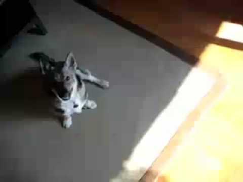 Basil the Swedish Vallhund is One!