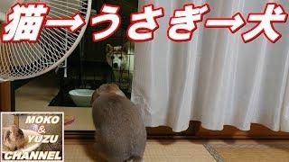 猫のゆずちゃんがモコちゃんを見て、うさぎのモコちゃんが犬のくぅちゃ...