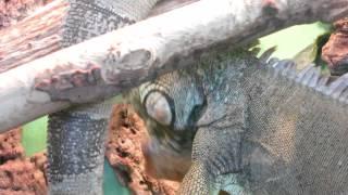 Игуана в минском зоопарке.(, 2014-07-23T16:20:25.000Z)