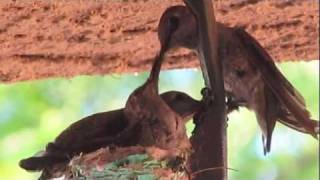 Big Fat Baby Hummingbirds in the nest on my Paolo Soleri windbell being fed by Mama Bird in HD!