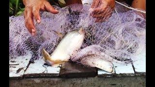 Chài ngay ổ cá vồ đâm rách cả lưới