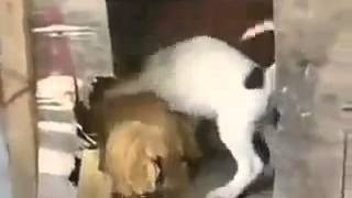 vuclip Sex ayam vs anjing