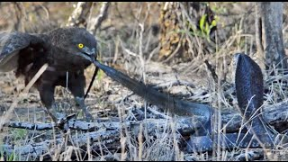 Cobra vs Brown Snake Eagle - Latest Wildlife Sightings