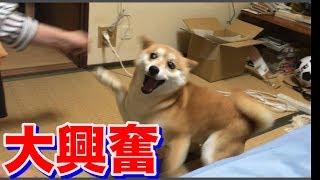 柴犬ハナ お姉ちゃんとドタバタ大興奮♪そして疲弊した-- Shiba plays with aunt.--