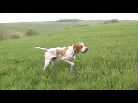 English pointer Gerganna Hella на лов за пъдпъдък