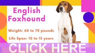 Dogs: English Foxhound Breed Information And Personality