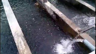 Trout Fish Hatchery at Madayan Swat Pakistan
