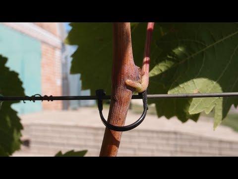 Новый вид, подвязки для винограда 2017г.