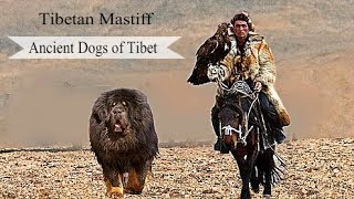 Tibetan Mastiff - Surprising Facts About this Ancient Breed
