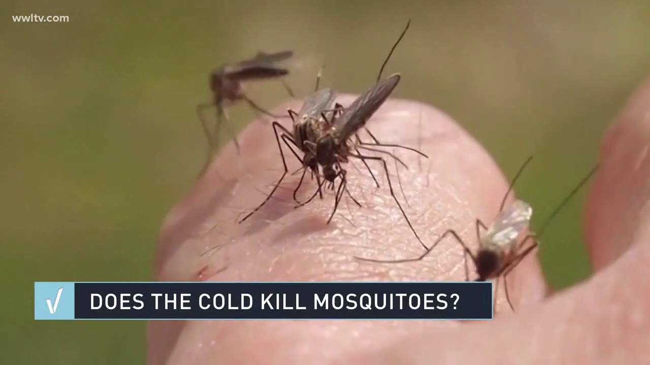 VERIFY: Does cold weather kill mosquitoes?