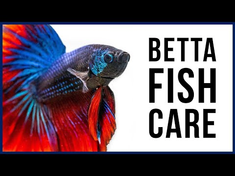 How to Care for Your New Betta Fish