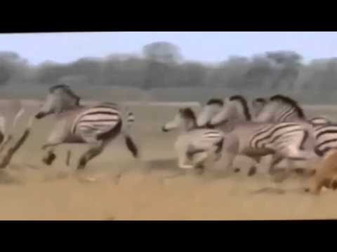 National Geographic Documentary LIONS vs ELEPHANTS and BUFFALO Documentary Channel
