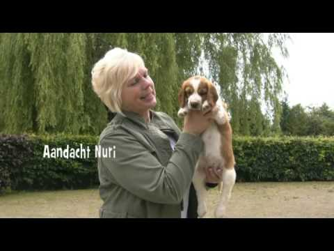Welsh Springer Spaniel Kennel Aandacht Nest N week 7