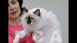 Презентация бирманской кошки PCA КАКАО БЕЛЫЕ ЛАПКИ