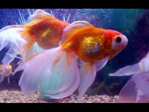 C mo cuidar peces ornamentales bailarinas goldfish y for Estanques para peces ornamentales