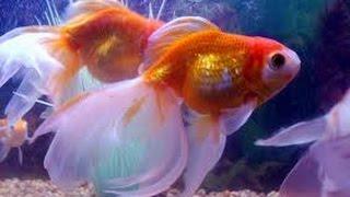 Cómo Cuidar Peces Ornamentales: Bailarinas, Goldfish y otros - TvAgro por Juan Gonzalo Angel