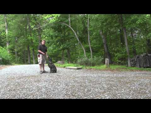 sadie-|-german-shepherd-rescue-dog-training-|-winston-salem-nc