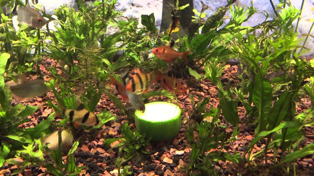 Vegetarian freshwater aquarium fish - Tropical Fish Eating Their Veggie Zucchini