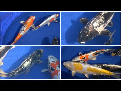 My Koi Breeding Project - Part 24 - A look at some parent Koi