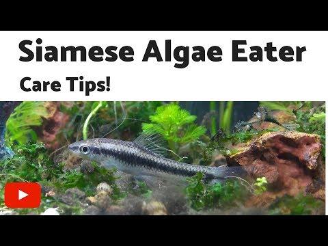 Siamese Algae Eater Care Tips