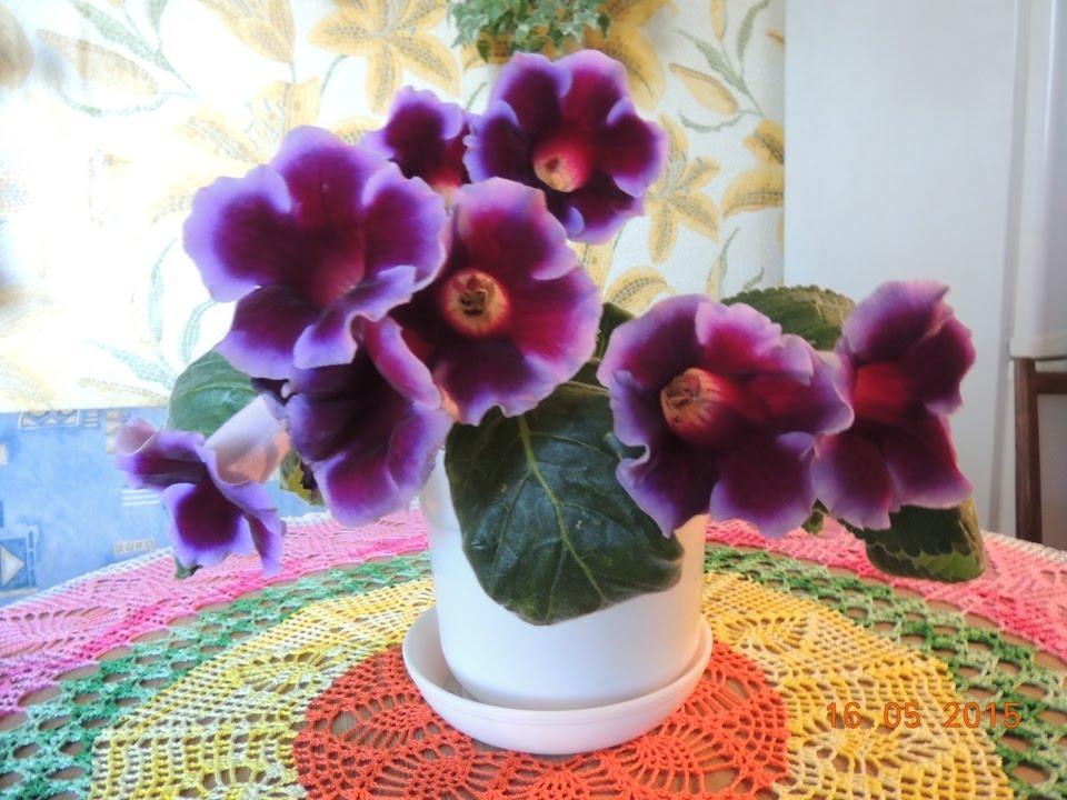 глоксиния фото цветы